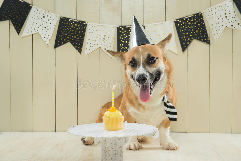 Cute pembroke corgi wearing birthday hat and festive cupcake.  stock images