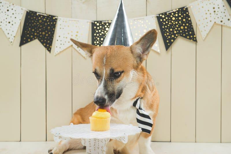 Cute pembroke corgi wearing birthday hat and festive cupcake.  royalty free stock photo