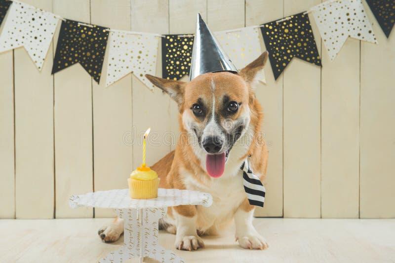 Cute pembroke corgi wearing birthday hat and festive cupcake.  royalty free stock photos