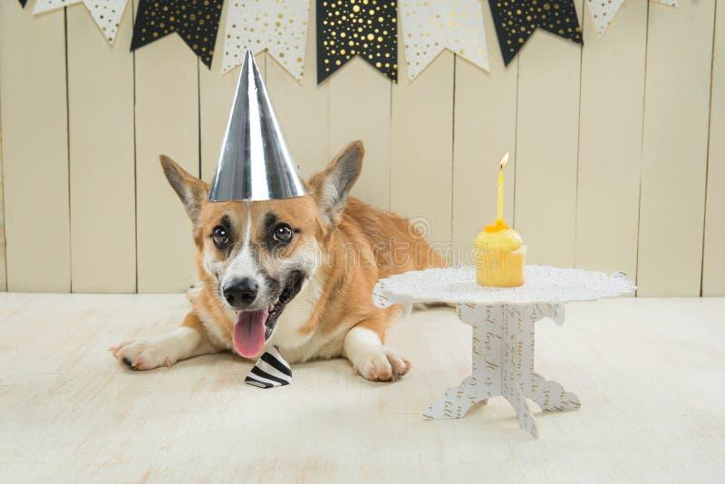 Cute pembroke corgi wearing birthday hat and festive cupcake.  royalty free stock photography