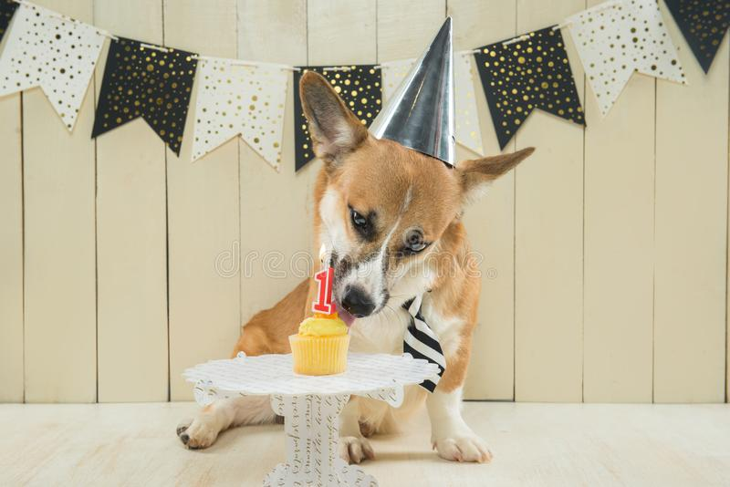 Cute pembroke corgi wearing birthday hat and festive cupcake.  royalty free stock images