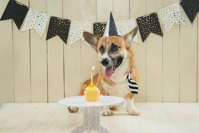 Cute pembroke corgi wearing birthday hat and festive cupcake.  stock photography