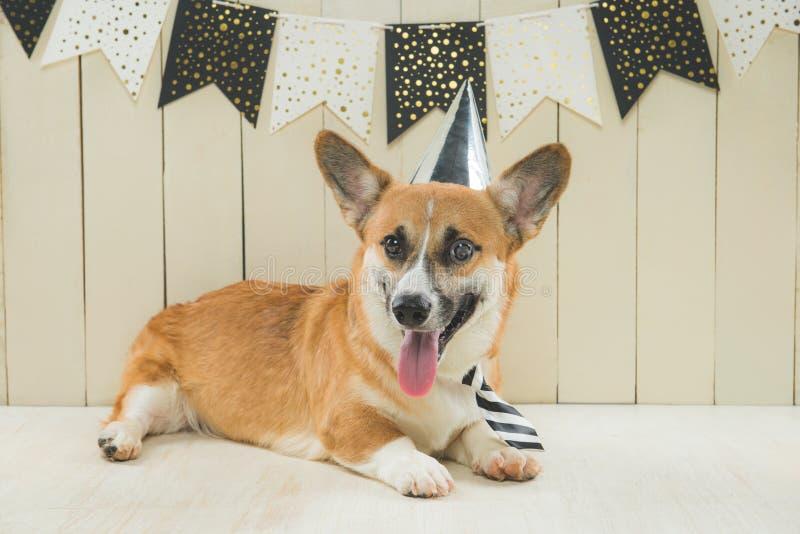 Cute pembroke corgi wearing birthday hat and festive cupcake.  stock photos