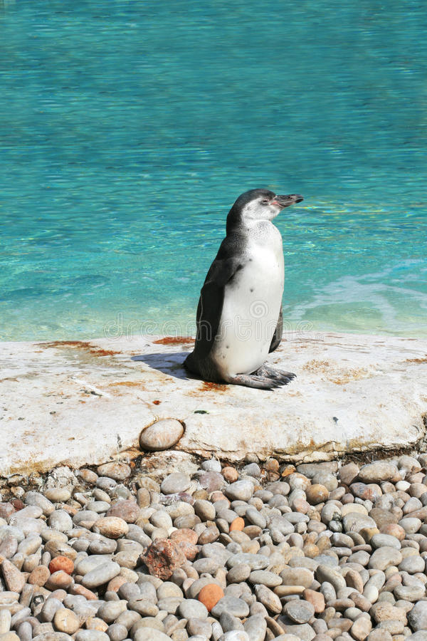 Cute Penguin In The Zoo Stock Image