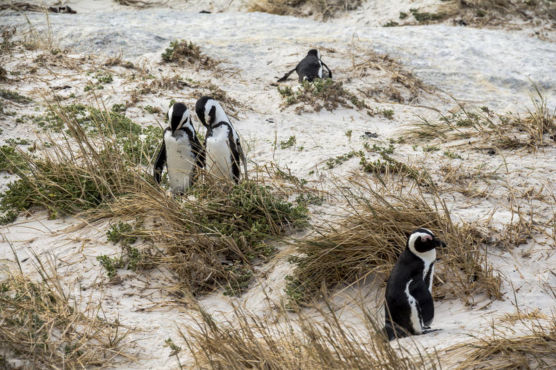 Cute penguins together on Boulders beach, Cape Town royalty free stock image