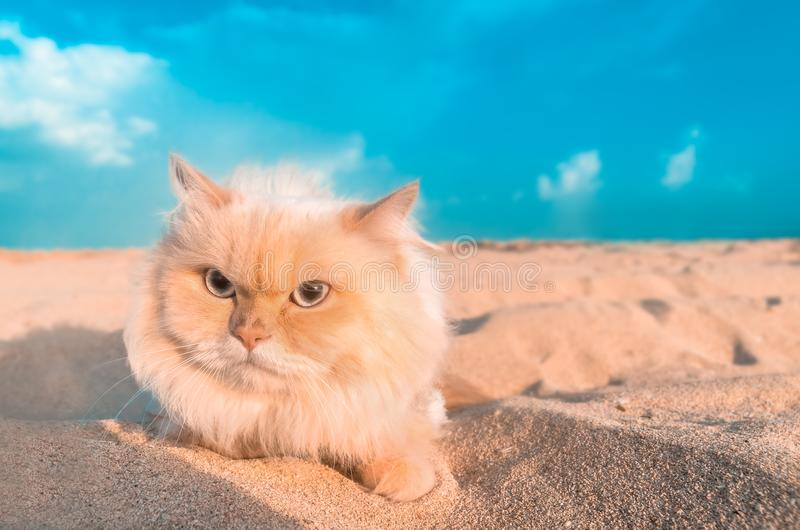 Cute Persian cat left alone in the sand. Cute Persian cat wandering alone in the sand is very friendly posed for a photo royalty free stock photography