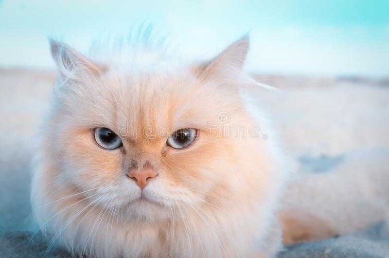 Cute Persian cat left alone in the sand. Cute Persian cat wandering alone in the sand is very friendly and posed for a photo stock photography