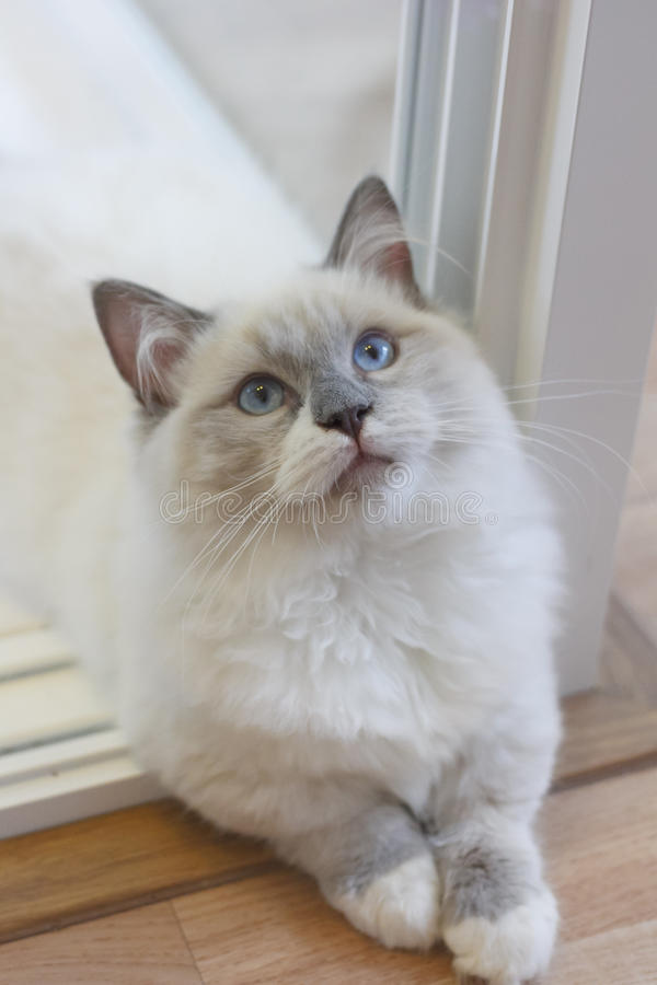 Cute Persian Munchkin cat in white and grey color and blue eyes. Young cute Persian Munchkin cat, with white and grey color long hair and big blue eyes, in sit stock photo