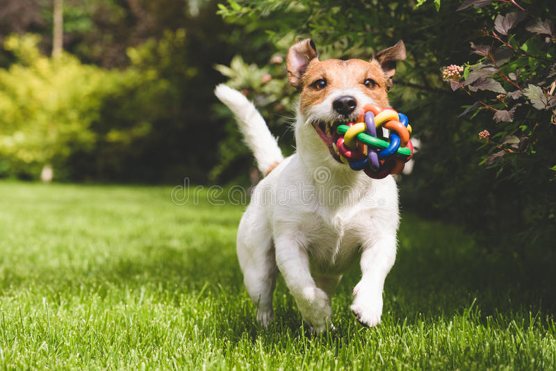 Cute pet dog playing with colorful toy ball royalty free stock photo