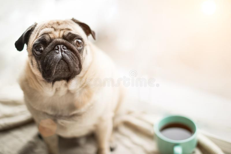 Cute pet face. Small cool dog pug sitting on a windowsill next to the coffee tea cup looking to the camera. royalty free stock images