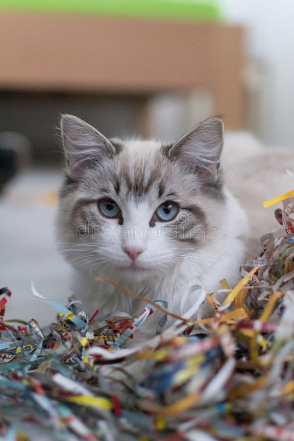 Cute pet Ragdoll cat hiding behind paperwork. Cute pet Ragdoll cat. White, brown and black fur. Blue eyes. Lazy cat. Cat in the apartment royalty free stock photos
