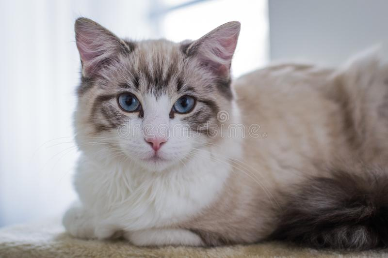 Cute pet Ragdoll cat on scratcher. Cute pet Ragdoll cat. White, brown and black fur. Blue eyes. Lazy cat. Cat in the apartment royalty free stock image