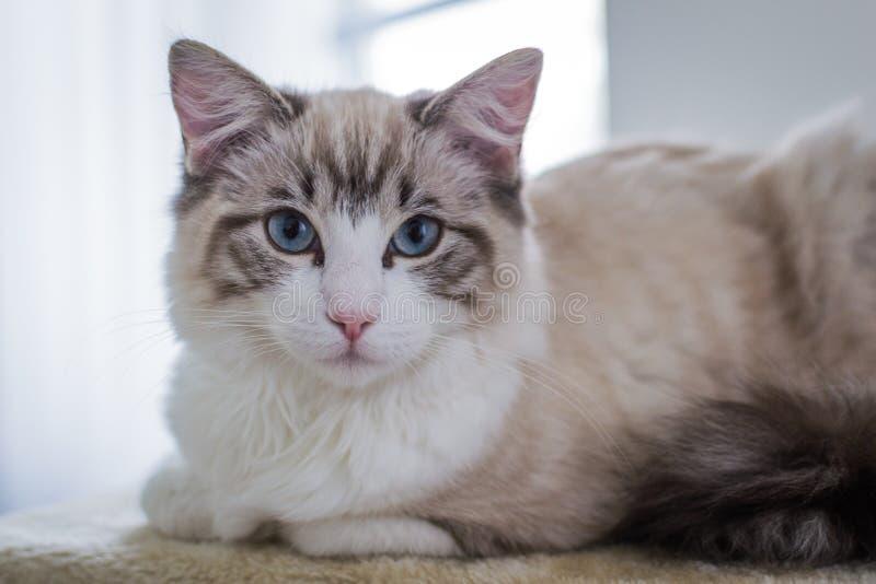 Cute pet Ragdoll cat on scratcher. royalty free stock image