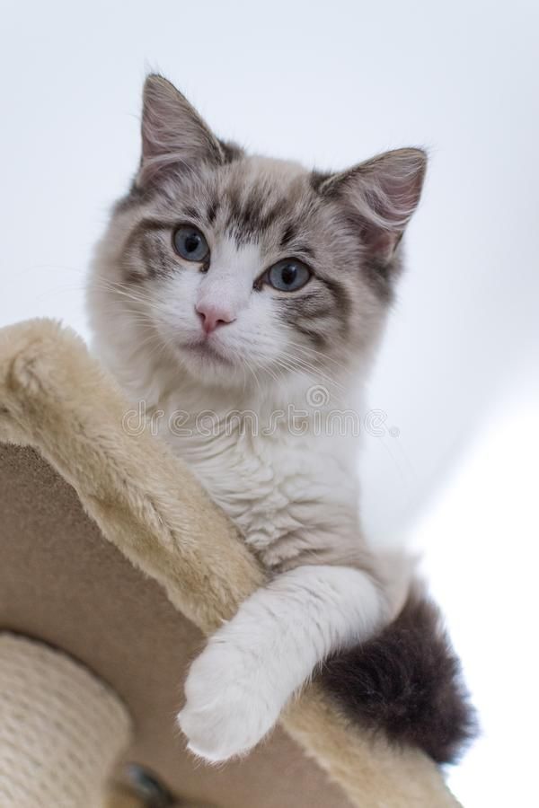 Cute pet Ragdoll cat on scratcher. Cute pet Ragdoll cat. White, brown and black fur. Blue eyes. Lazy cat. Cat in the apartment stock photos