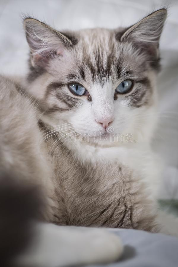 Cute pet Ragdoll cat was waken. Cute pet Ragdoll cat. White, brown and black fur. Blue eyes. Lazy cat. Cat in the apartment stock photo
