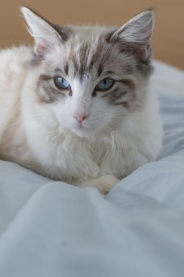 Lazy Ragdoll cat in bad. royalty free stock photos