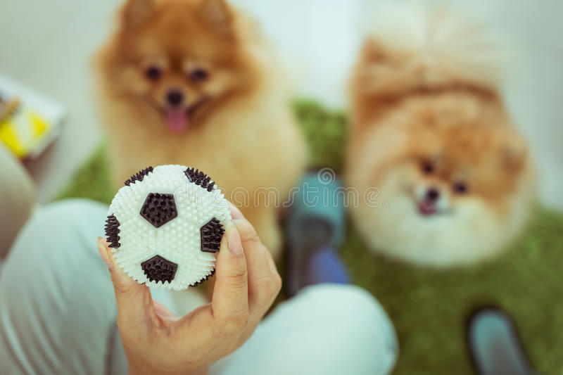 Cute pets pomeranian dog happy playing ball royalty free stock images