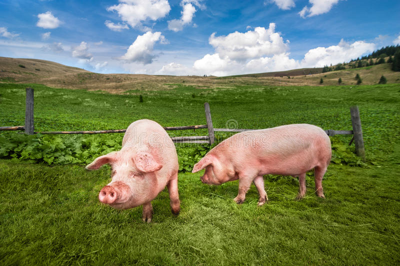 Cute pig grazing at summer meadow at mountains pasturage. Cute pigs grazing at summer meadow at mountains pasturage under blue sky. Organic agriculture natural royalty free stock photo