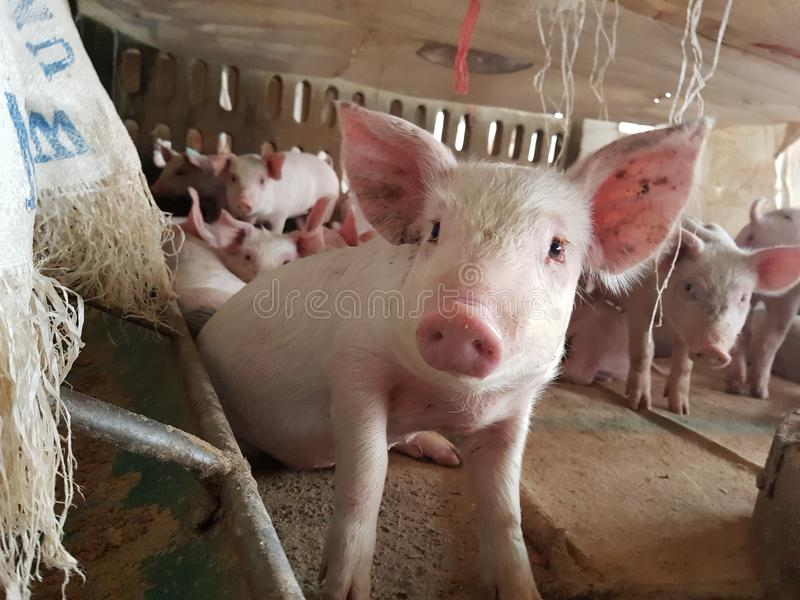 Cute piglet in farm royalty free stock photo
