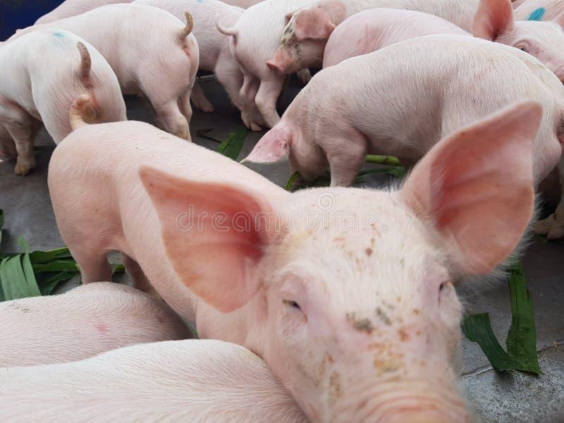 Cute piglet in farm stock photos