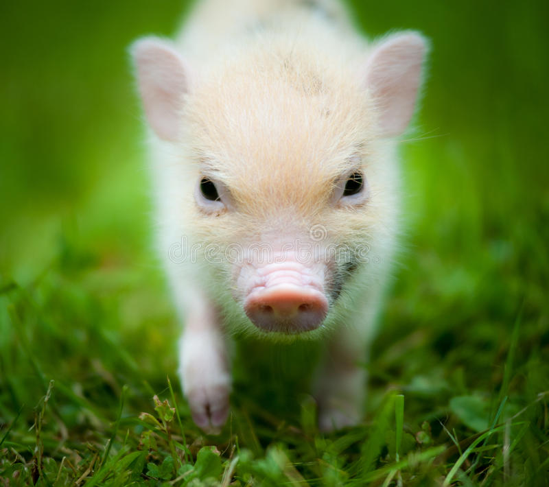 Cute piglet of mini pig. Portrait stock images
