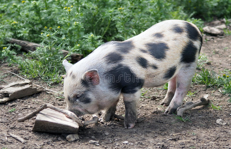 Cute piglet stock images