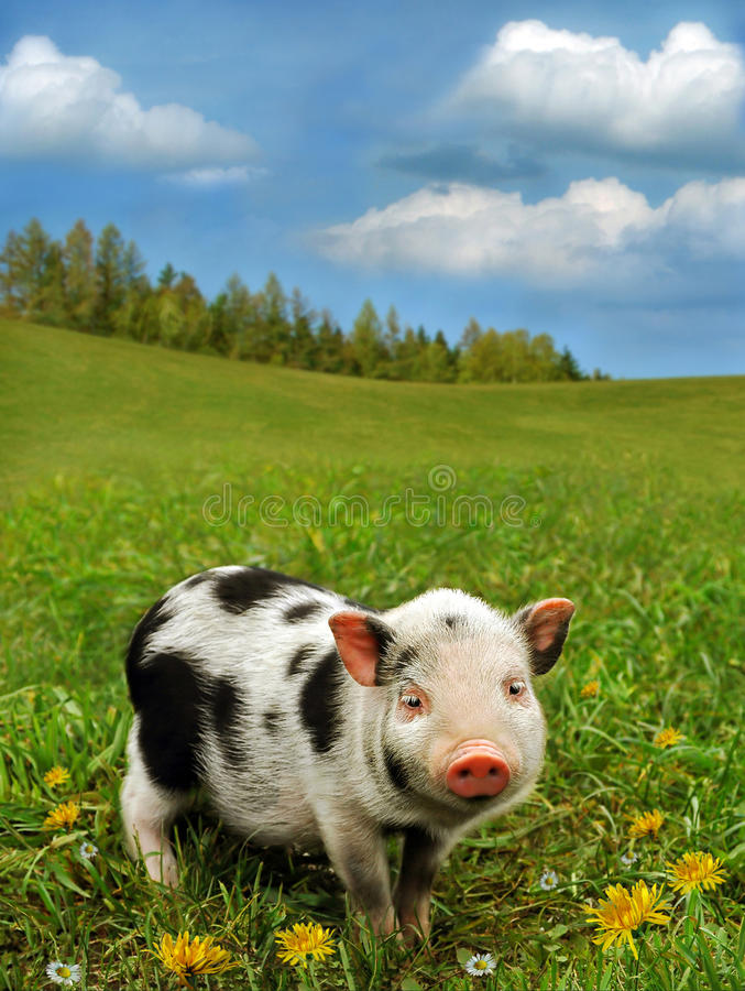 Cute piglet on spring meadow royalty free stock photo