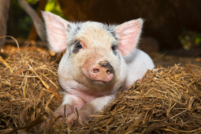 Cute piglet in the straw. stock photography