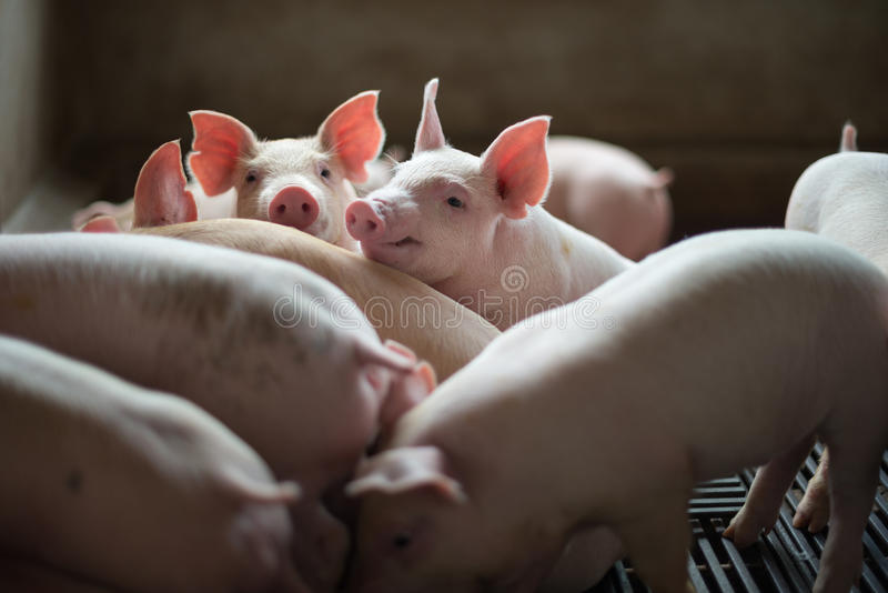 Cute Piglets in the pig farm stock photo