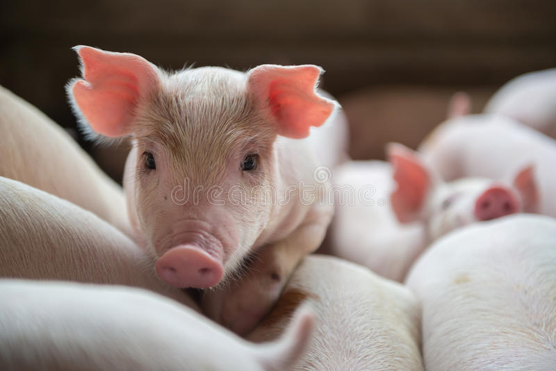 Cute Piglets in the pig farm stock photos