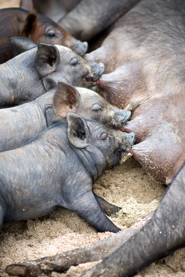 Cute piglets suck their mother pig stock photo