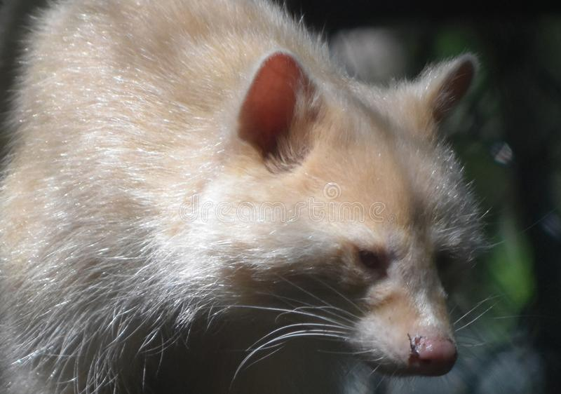 Cute Pink Nose on a White Raccoon royalty free stock images