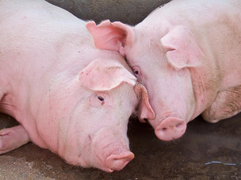 Cute pink pigs. Closeup of two mixed breed landrace and large white pigs lying with heads together royalty free stock photos