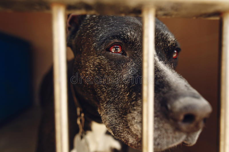 cute pitbul dog in shelter cage with sad crying eyes and pointing nose, emotional moment, adopt me concept, space for text royalty free stock image