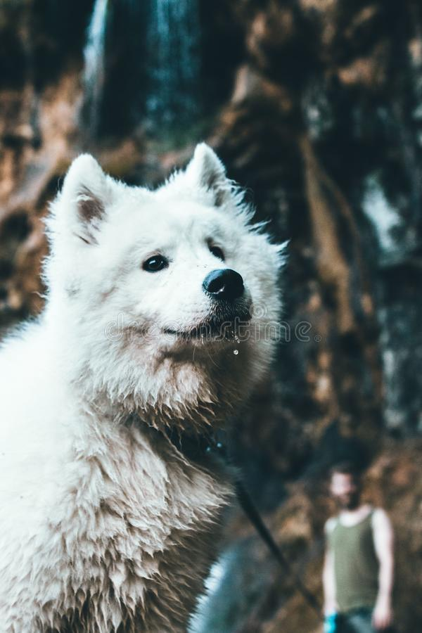 Cute playful white samoyed dog in the river with wet fur royalty free stock photography