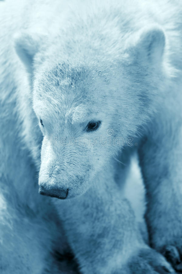 Cute polar bear cub stock photos