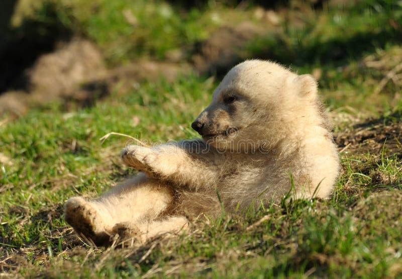 Download Cute polar bear cub stock image. Image of claw, pole, animal - 8860809
