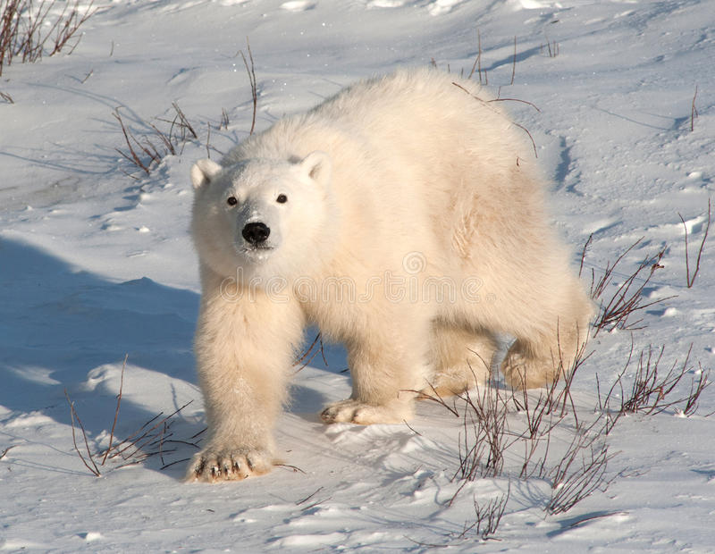 Cute polar bear cub. Standing ion snow covered ground outside of Churchill, Manitoba stock photos