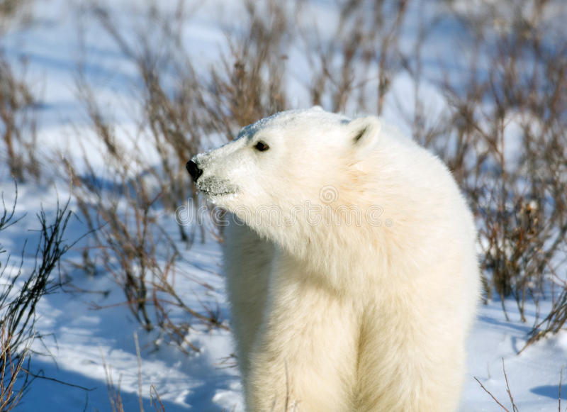 cute polar bear cub stock image image of wildlife winter. Black Bedroom Furniture Sets. Home Design Ideas