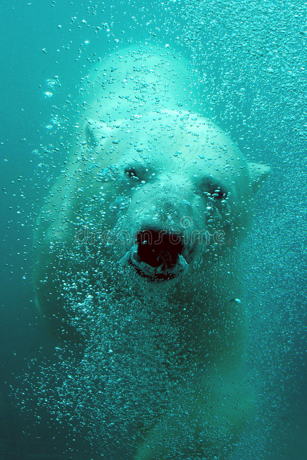 Cute polar bear underwater stock photo