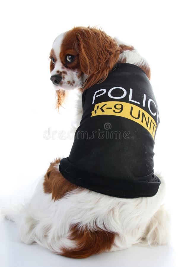 Cute police dog. Spaniel on white background. Dog costume on isolated white studio background closeup photo. Cute royalty free stock photography