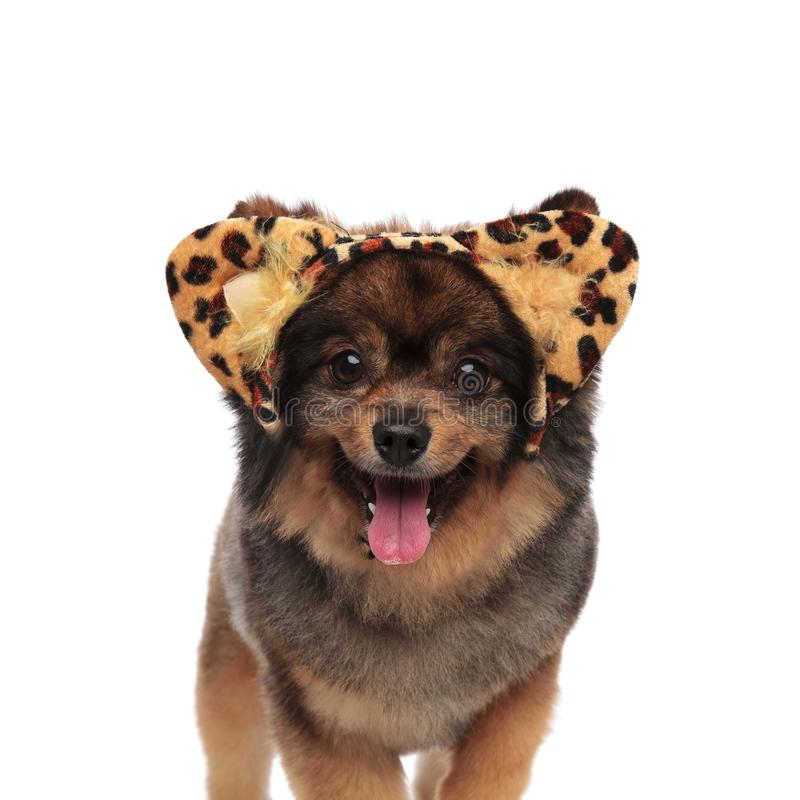 Cute pom with leopard print headband standing and panting. Cute pom with leopard print headband standing on white background and panting royalty free stock images