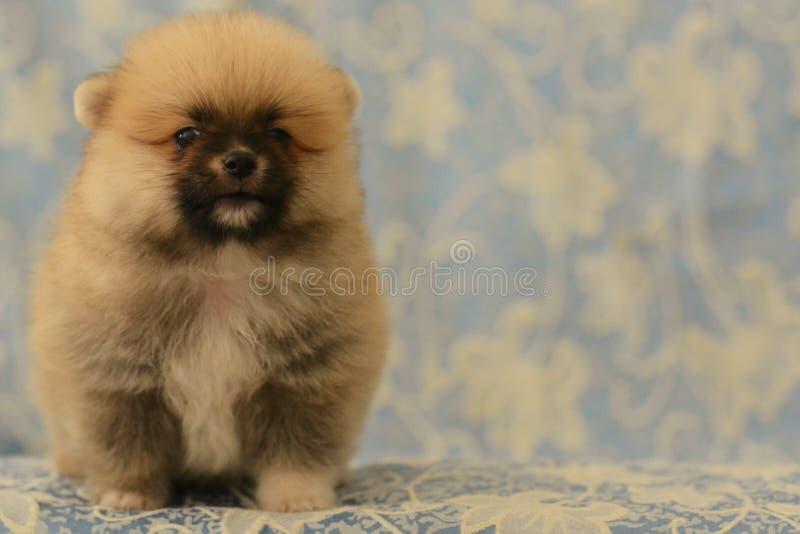 Cute Pomeranian baby dog barks stock photo