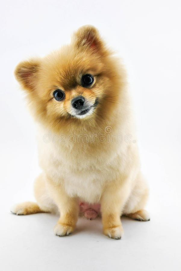 Cute pomeranian dog confuse. Over white background stock photography