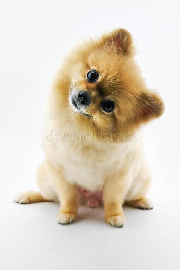Cute pomeranian dog confuse. Over white background royalty free stock photos