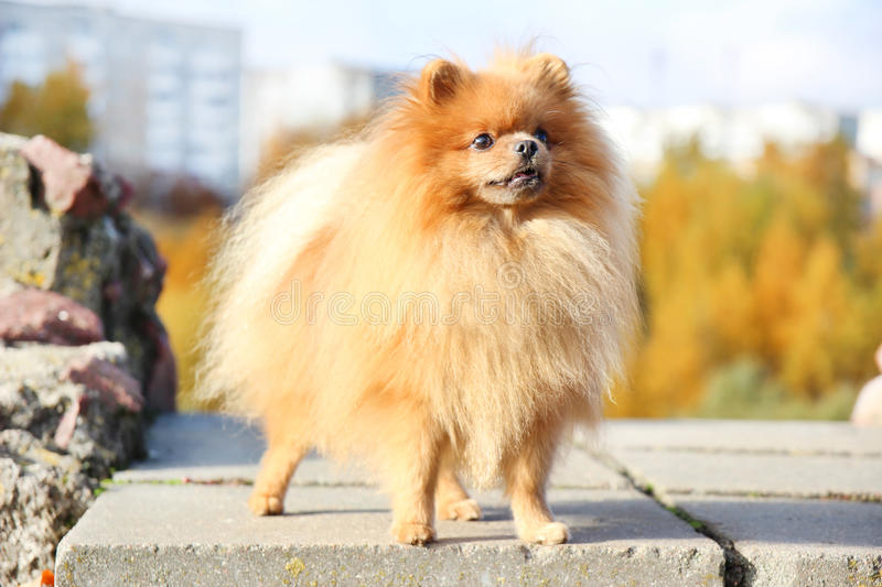 Amazing German Spitz Canine Adorable Dog - cute-pomeranian-dog-dog-autumn-park-pomeranian-autumn-yellow-leaves-serious-dog-funny-64561671  Perfect Image Reference_41659  .jpg