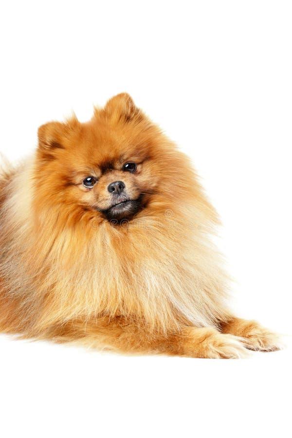 Cute Pomeranian royalty-vrije stock fotografie
