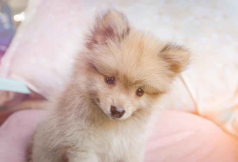 Cute pomeranian dog smiling on the chair royalty free stock photography