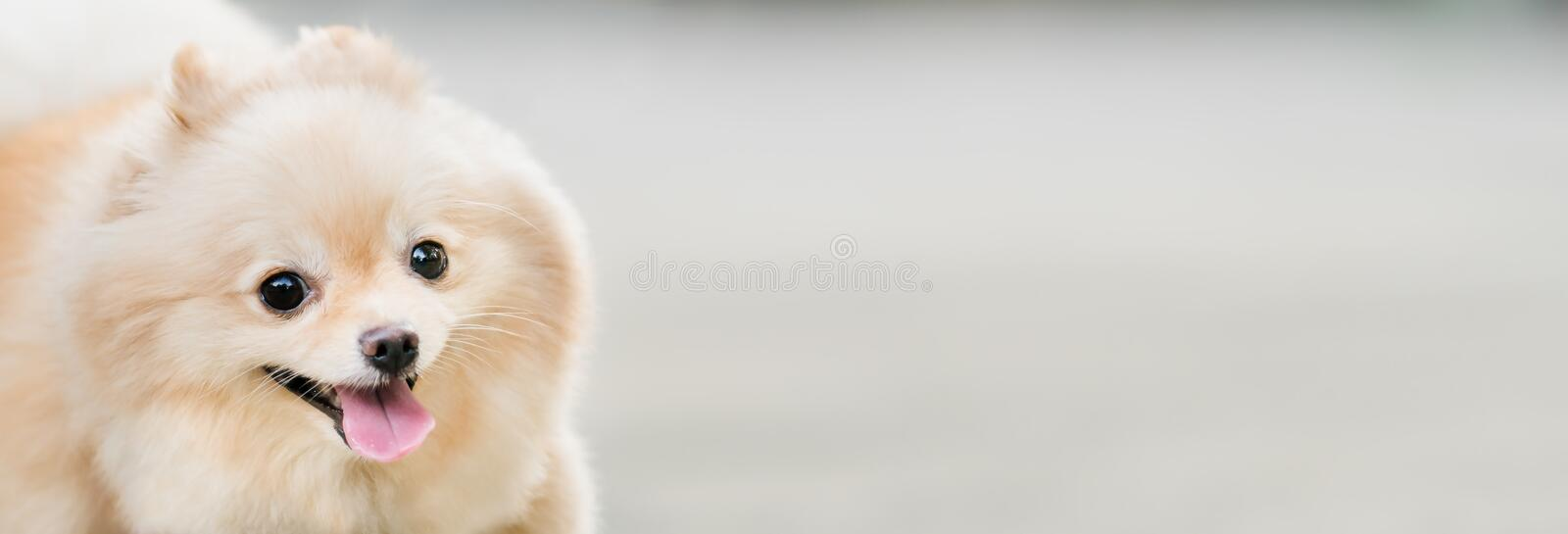 Cute pomeranian dog smiling funny, with copy space, horizontal rectangular image, focus on the eye royalty free stock photos
