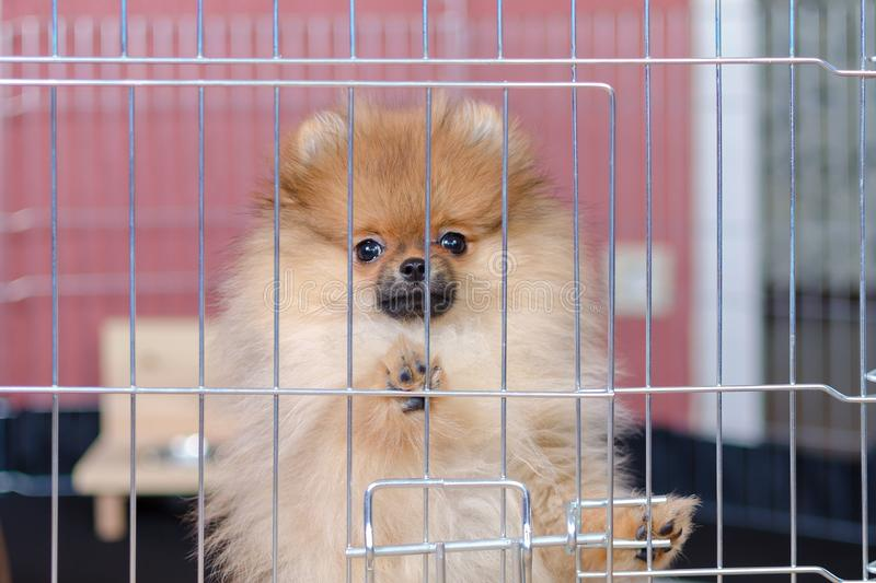 Cute pomeranian puppy is standing in a aviary and looking stock images